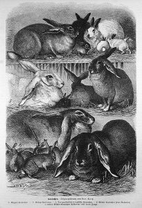 Quelle: Wikimedia, Kaninchen. Originalzeichnung von Lud. Voltz